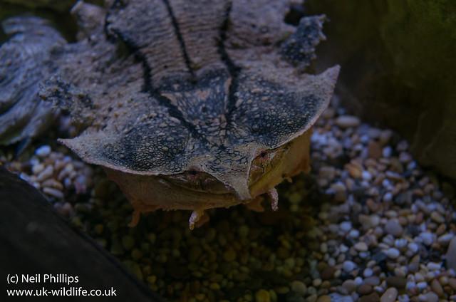 Mata mata Turtle Chelus fimbratus