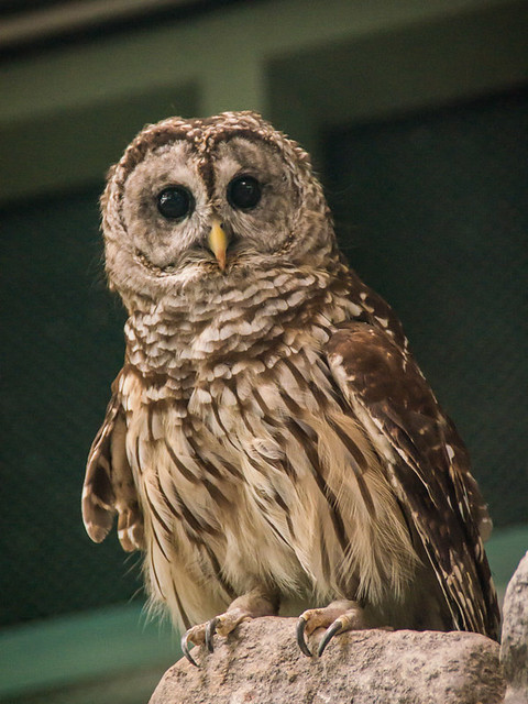 Barred owl (?)