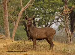 animal, deer, fauna, musk deer, wildlife,