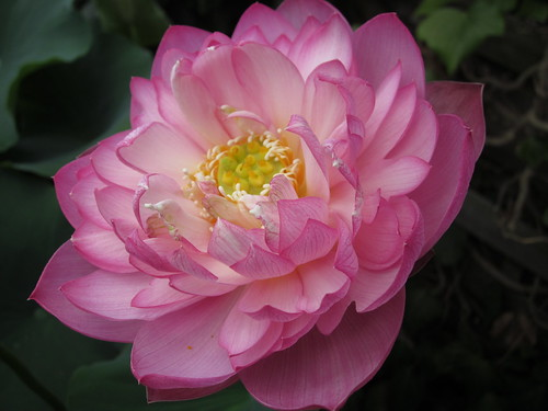 Nelumbo 'Dew on flowers'