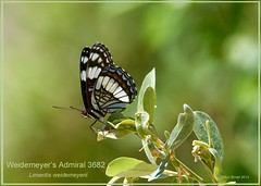 Weidemeyer's Admiral St. George Utah butterfly photography by Ron Birrell,  DSC_3682