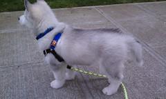 [Scrapbook] Link the Siberian Husky - Page 3 8532158330_03395a5f71_m