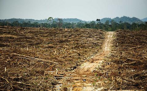 婆羅洲的原始森林被大量砍伐用於棕櫚油貿易。圖片來源:Rainforest Action Network