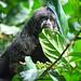 Primates Pithecia monachus_04_