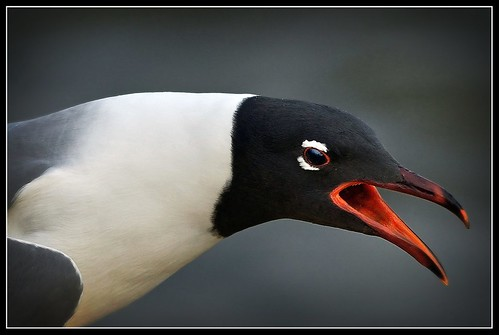 Just a Shout Out for Friday!  ~ Laughing Gull ~ Explored # 45 ~