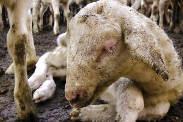 2013 - La vita degli agnelli
