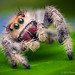 Female Jumping Spider - Phidippus regius - Florida by Thomas Shahan