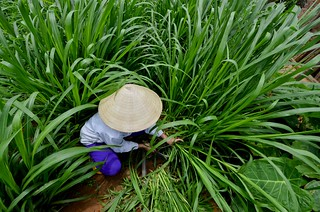 NP Vietnam forages 25