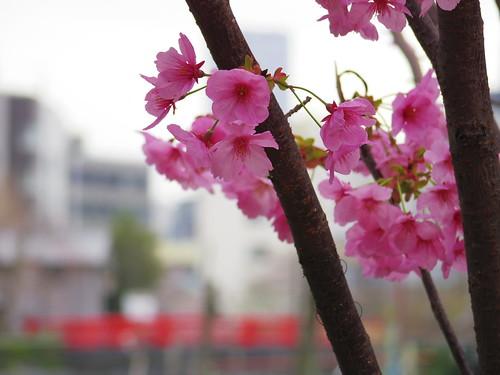 Sakura bloom in Tokyo 08