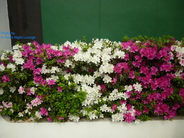 美麗的杜鵑花 3