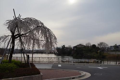 菖蒲池の枝垂桜