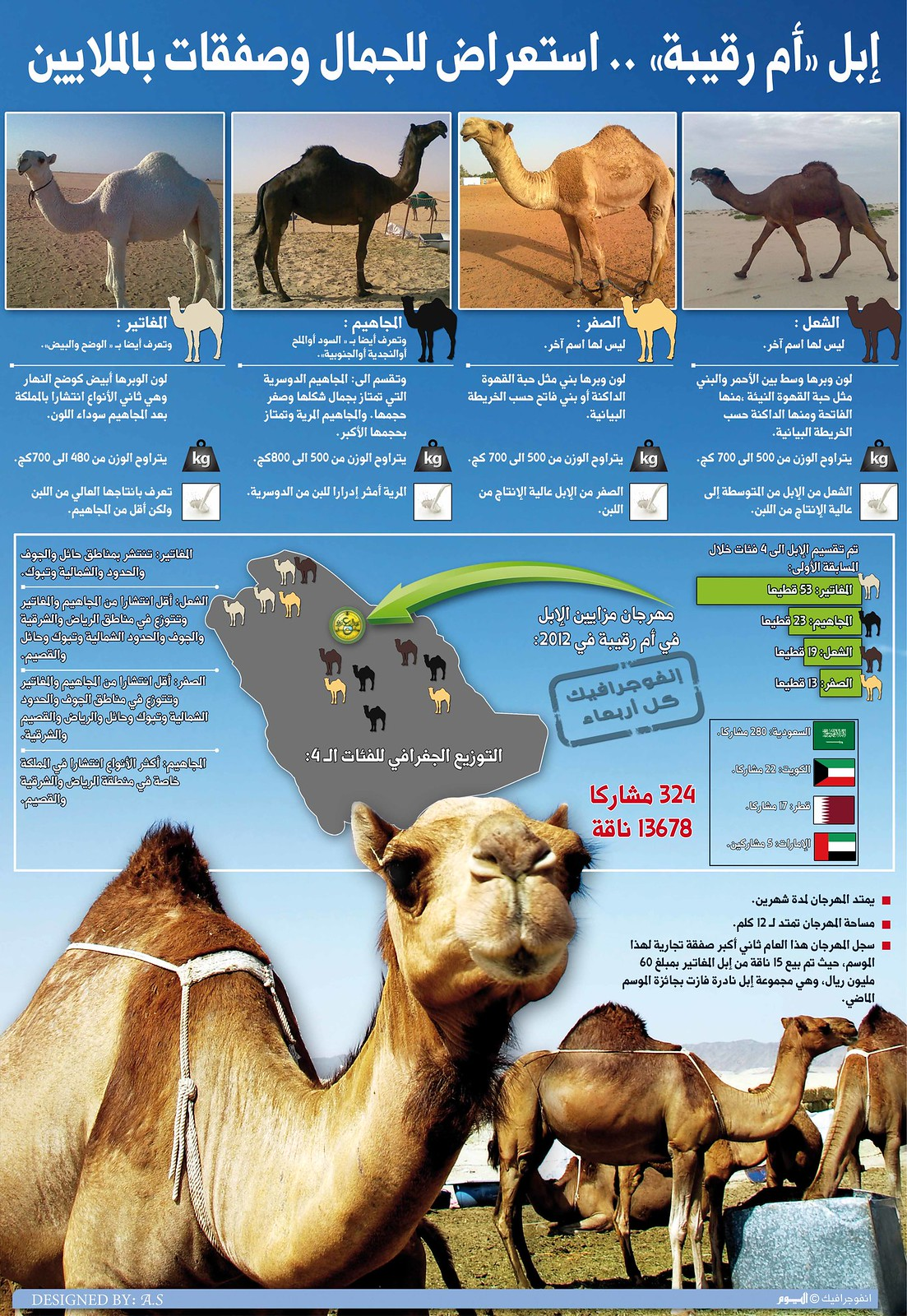 The most beautiful camel in Arab gulf, infographic by Amr Elsawy