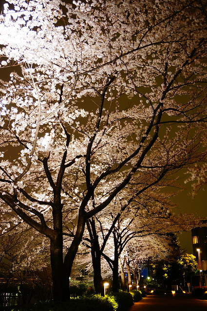 Sakura night street