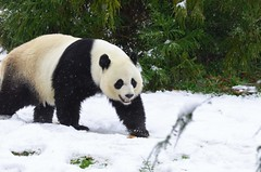 Content from Snow Day at the Smithsonian's National Zoo March 25, 2013