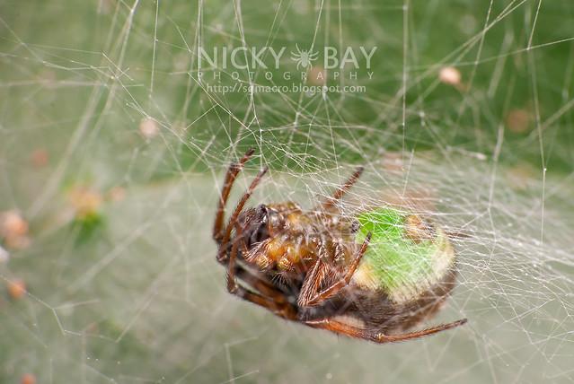 Orb Weaver Spider (Araneidae) - DSC_9490