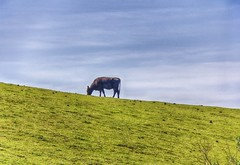 Grazing, Table Mountain State Park, Butte County CA (C62_2456-2458-HDR--LR-NS)