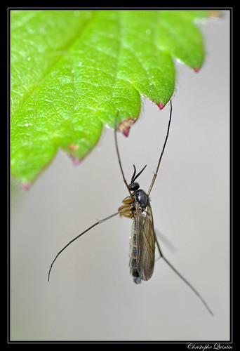 Keroplatidae au repos