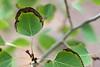 Crispy Aspen Leaves