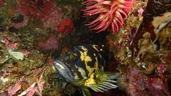 Black and yellow rockfish, Sebastes chrysomelas