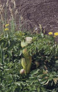 Lovage, Ligusticum scoticum. Mizen Head, County Cork, Southwest Eire 1995