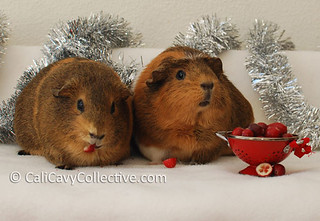 can you feed cavy cranberries