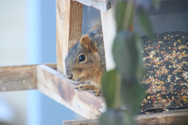 Squirrel in the Bird Feeder