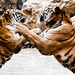 Tigers fight by @Doug88888