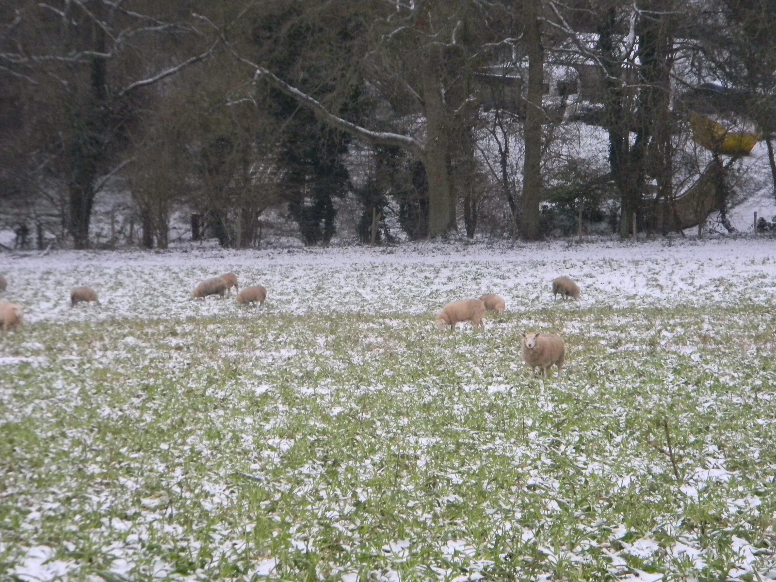 Cold sheep Snodland to Sole Street