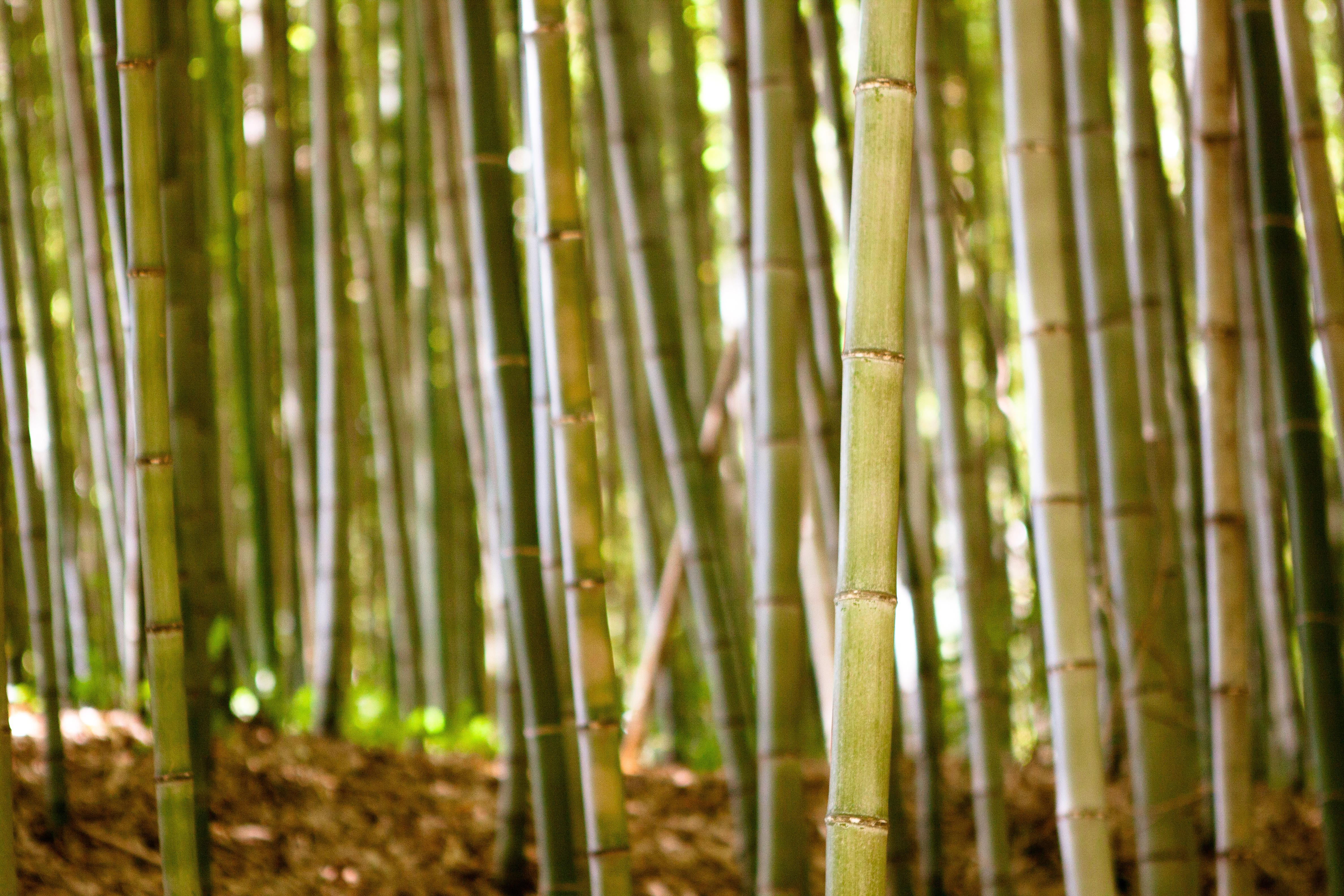 Juknokwon Bamboo Garden (죽녹원), Damyang (담양), South Korea