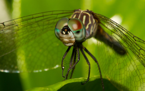 Solemn Dragonfly.  Photo © Flickr user: Kelby Roberson Photography.