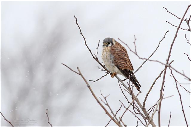 American Kestrel ♀ (Falco sparverius)