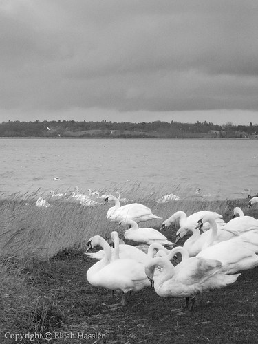 Swans on the River Stour by right2roam