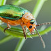 Shiny Leaf Beetle