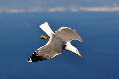 Gull of Gibraltar