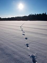 Spoor van een ree over het besneeuwde weiland