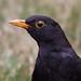 Blackbird 2013-02-09 (_MG_0221)