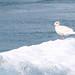 Iceland Gull, Jokulsarlon (Kerrie Warburton)