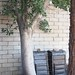 Garden Inventory: Ficus benjamina - 7