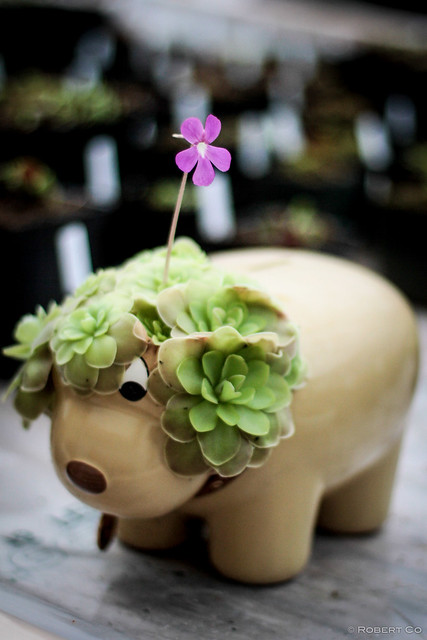 Pinguicula Planter