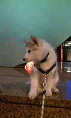 [Scrapbook] Link the Siberian Husky - Page 3 8533317842_0078ddf970_m