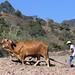 Hombre arrando con yunta - Man plowing with oxen; cerca de Zoogocho, Districto Villa Alta, Región Sierra Juárez, Oaxaca, Mexico por Lon&Queta