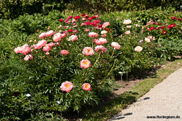 Blühende Pfingstrose (Paeonia) im Sichtungsgarten Weihenstephan