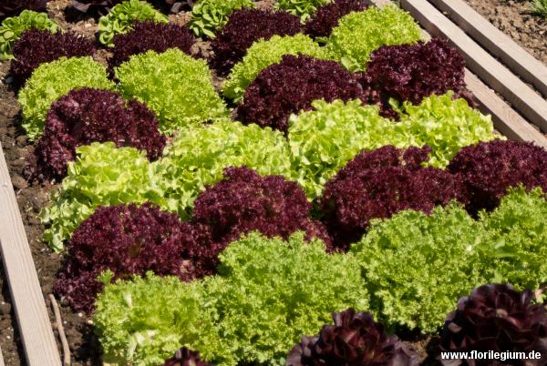 Auch ein Gemüsebeet mit Salat kann eine Zierde sein