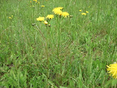 prairie, dandelion, flower, field, grass, plant, sow thistles, flatweed, herb, flora, meadow, grassland,