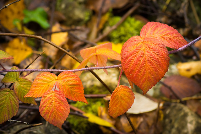 Leaves, Leaf, Orange, Autumn, Fall, Color, Bill Pevlor, Photo, Photography