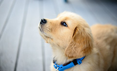 dog breed, nose, animal, puppy, dog, skin, pet, mammal, close-up, golden retriever,