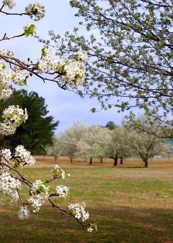 landscape march spring bradford blossom northcarolina pear bloom allée newbern treesinarow