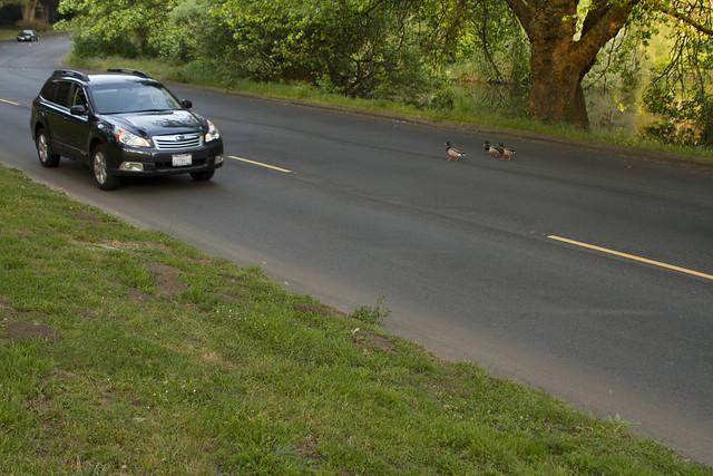ducks crossing; Golden Gate Park, San Francisco (2012)