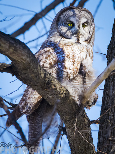 Great Gray Owl by Ricky L. Jones Photography