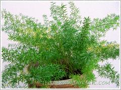 Our potted Asparagus densiflorus 'Sprengeri' (Sprengeri/Sprenger's Asparagus Fern, Asparagus/Foxtail Fern, Plume Asparagus)